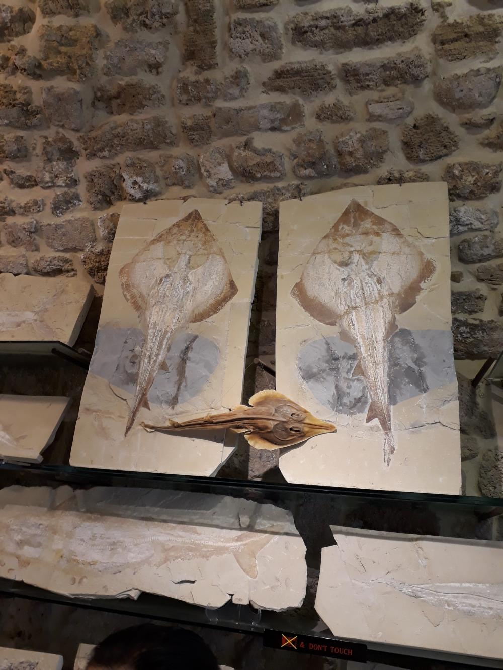 Byblos muzeu fosile