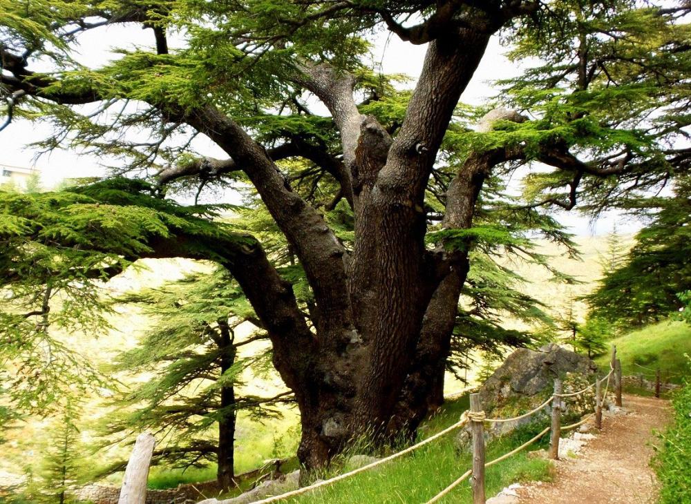 Liban rezervatia cedri